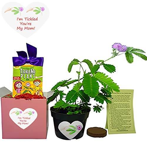 Last Minute Mother's Day Gift Ideas - Tickle Me Plant